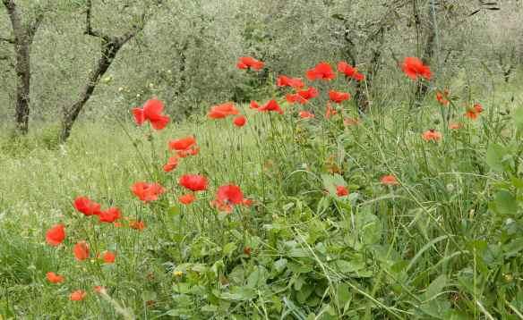 28.poppies