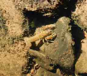 15.Freshwater Burrowing Crayfish