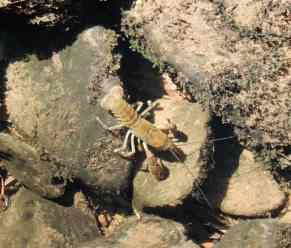 16.Freshwater Burrowing Crayfish