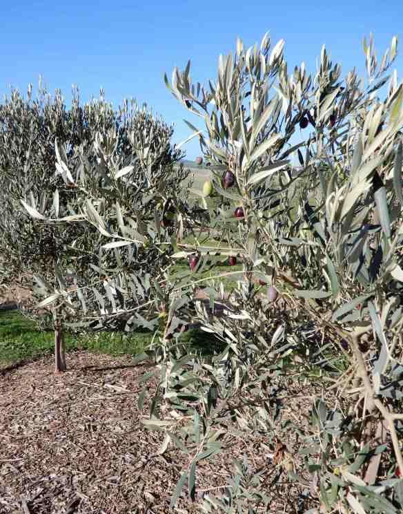 16.olives
