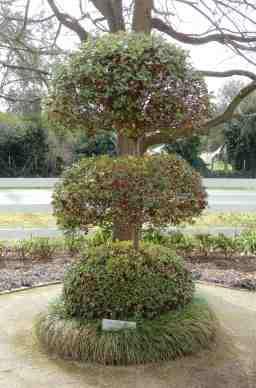 2.oval leafed privet