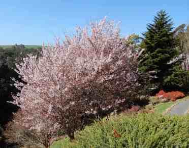 38.Cherry Blossom