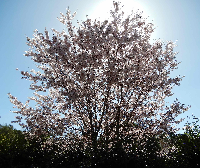 47.Cherry blossom