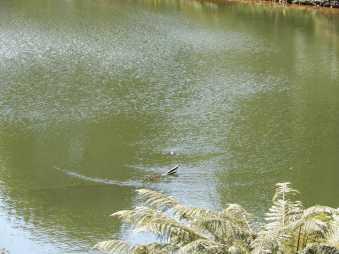 63.platypus, Lake Grebe