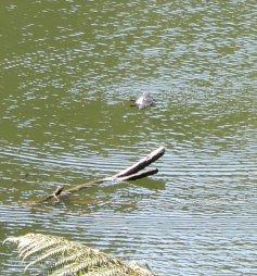 64.platypus