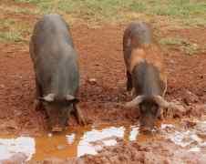 43.pigs in mud