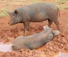 44.pigs in mud