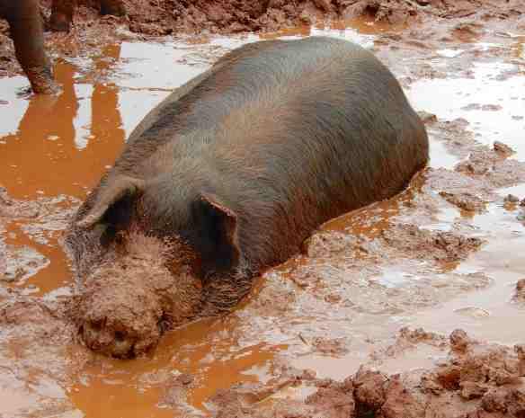 47.pig in mud