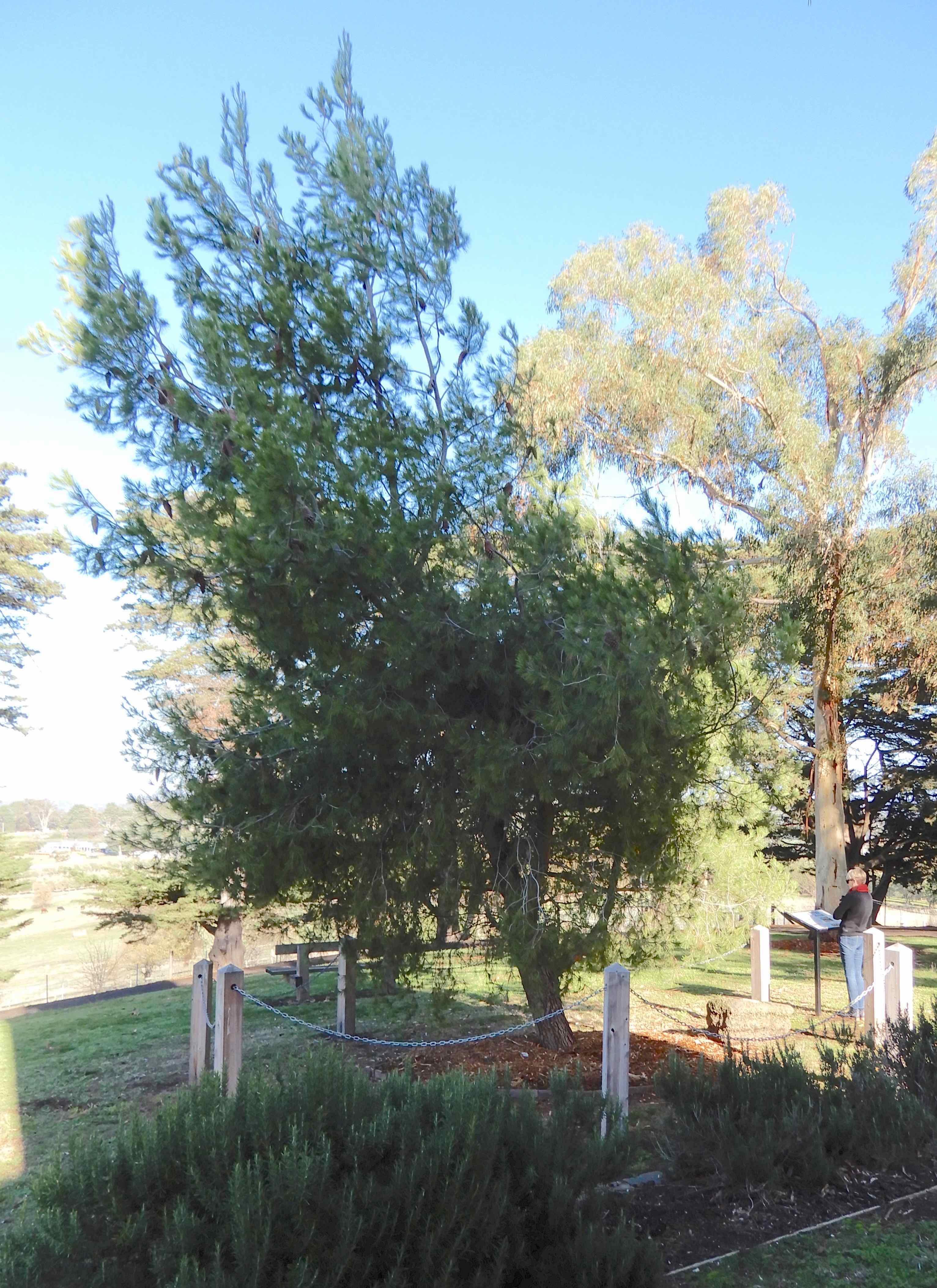 8.lone pine