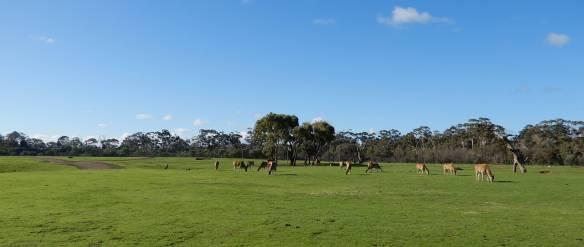13.Eland grazing
