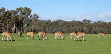 14.Eland grazing