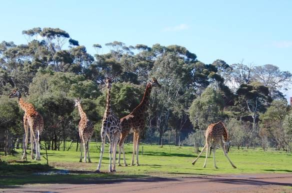 16.giraffe