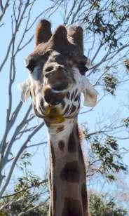 17.giraffe