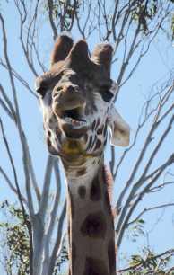 18.giraffe