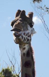 19.giraffe