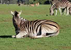 20.zebra