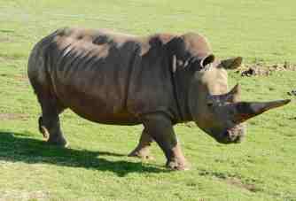 23.rhinoceros