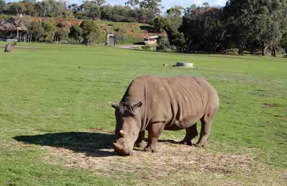 24.rhinoceros