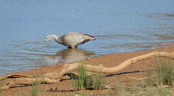 25.Cape Barren goose