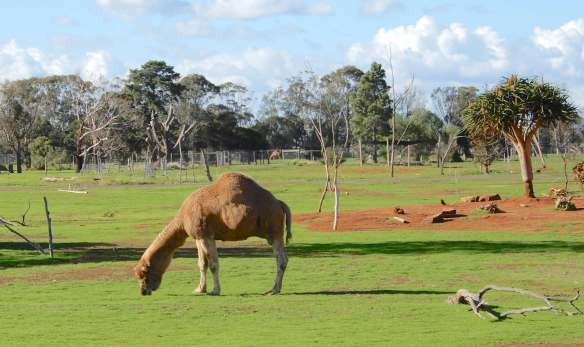 26.camel