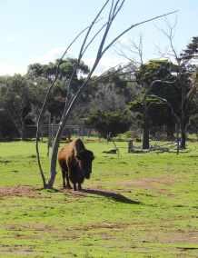 3.bison