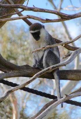 32.Vervet monkey