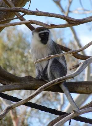 33.Vervet monkey
