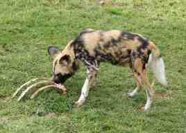 34.African Wild Dog