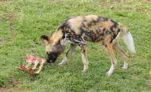 35.African Wild Dog
