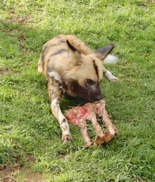 37.African Wild Dog
