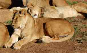 39.lions