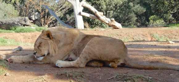 40.lion