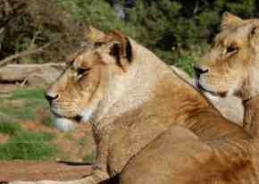 41.lions