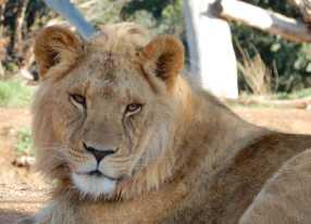42.lion