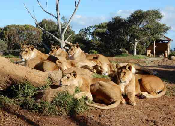 43.lions