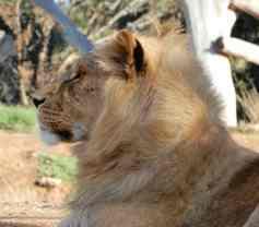 44.lion
