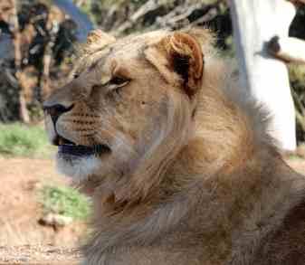 45.lion
