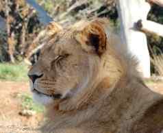 46.lion