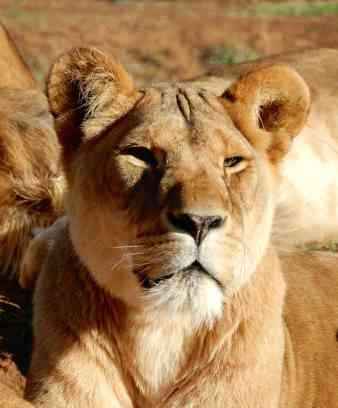 47.lioness