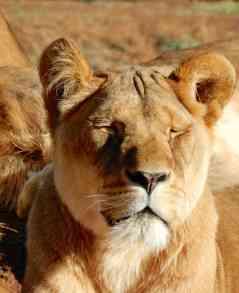 48.lioness