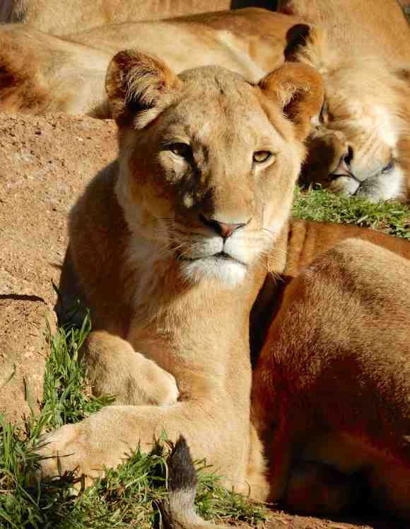 49.lioness