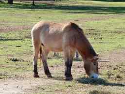 5.Mongolian Wild Horse