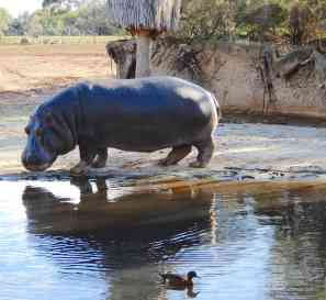 54.hippo
