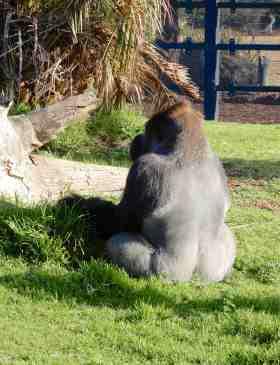 58.gorilla