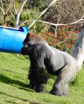 59.gorilla