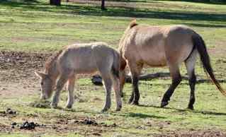 6.Mongolian Wild Horse