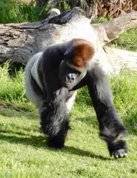 60.gorilla