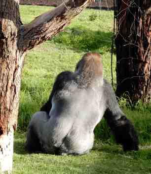 61.gorilla