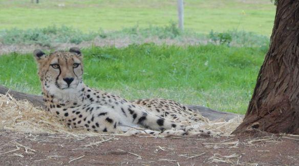62.cheetah
