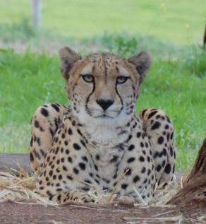 63.cheetah